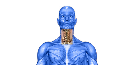 skeleton and neck muscle illustration