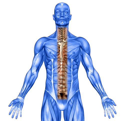 spine and muscle illustration
